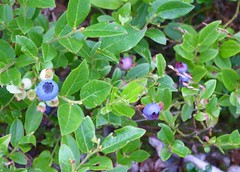 Blueberries (Medium)