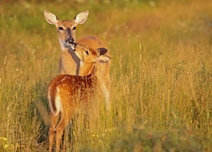 kiss for mom (KarenR-TB) Tags: doe deer fawn naturesfinest coppercloudsilvernsun