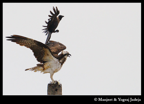 Osprey (Pandion haliaetus) being mobbed by  a crow