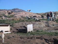 Dog Park in Greenland