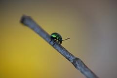 Chrysomelid (leaf beetle)