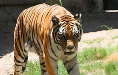 Tigre - Reino Animal - Orlando, Florida (myrmardan) Tags: usa america orlando unitedstates florida tiger disney amerika tigre estadosunidos  etatsunis