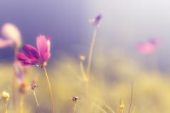 Cosmos () (onigiri-kun) Tags: plant flower pentax cosmos jupiter9  f2085mm k7m42 lzos