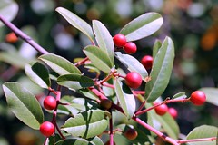 Rhamnus californica California Coffeeberry