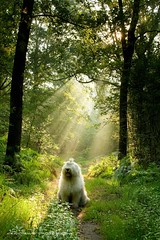 dogs are miracles with paws * explore  * (dewollewei) Tags: old light dog english dogs ray forrest miracle sheepdog hund perros sunrays bobtail overijssel oes oldenglishsheepdog sheepdogs oldenglishsheepdogs junne thelittledoglaughed sweetexpressions platinumheartaward dewollewei