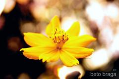 Margarida !!!!!! (beto braga) Tags: flower macro sony flor ms alpha pantanal campogrande matogrossodosul 380 manoeldebarros ltytr1 allxpressus photoshopcreativo tuttiflores bemflickerbembrasil sonyalpha380 betobraga morenafoto
