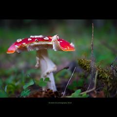 fluesopp (stella-mia) Tags: mushroom lumix dof pov panasonic explore fungus 20mm amanitamuscaria frontpage witchcraft flyfungus amanita flyagaric gf1 fluesopp flyamanita explored мухомор micro43 dmcgf1 20mmpancake annakrømcke