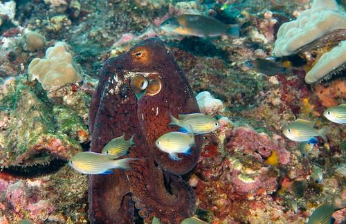 Day Octopus (Octopus cyanea)