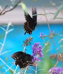 Black Swallowtail (Henryr10) Tags: black butterfly large butterflies papillon borboleta mariposa swallowtail swallowtailbutterfly farfalla schmetterling vlinder papilio blackswallowtail papilionidae papiliopolyxenes bmna papilioninae kapelleke flunnerk