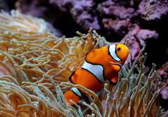 [フリー画像] 動物, 魚類, スズメダイ科, クマノミ, 201008280500