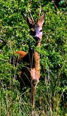 Capriolo comune (Bloody Nick) Tags: italy leaves animals canon ilovenature montagna animalplanet naturalmente coth capriolo supershot flickrchallengegroup daarklands coth5