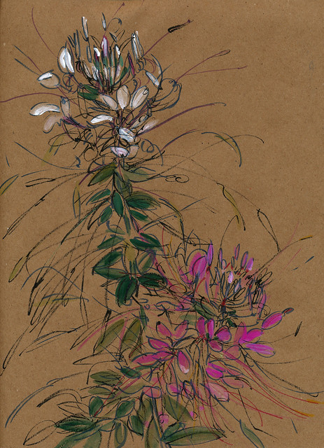 Cleome, crossed