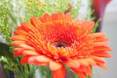 Orange Gerbera (Rich Jankowski) Tags: orange flower canon 50mm unitedkingdom petal gerbera gb orangegerbera