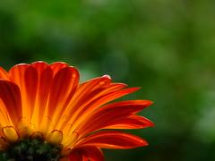 More Daisy (Flick Vlooi) Tags: original orange flower macro closeup droplets close bright bokeh african background daisy raindrops sunburnt unedited sooc fujifilmfinepixs200exr s200exr fromthebarrel