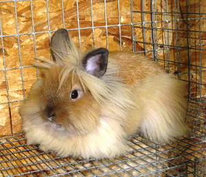 rabbit long haired