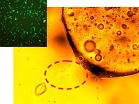 Bacterias que se alimentan de petróleo