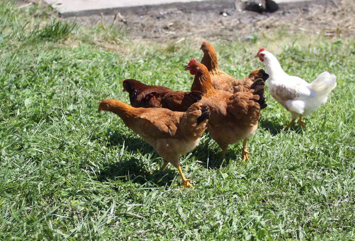 08-25-chickens