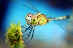 Delivery by air... (CK_Expresso) Tags: blue detail macro cute green nature insect lumix dragonfly bokeh air awesome picture panasonic delivery lx3 ringexcellence dblringexcellence tplringexcellence ckexpresso aboveandbeyondlevel1