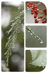 project 365-72 (MarlaSinger MK) Tags: red green rain canon drops berries bokeh raindrops project365