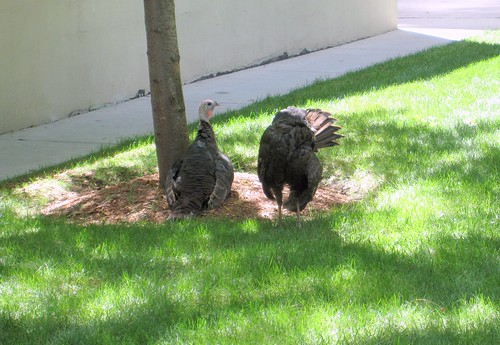turkey pair