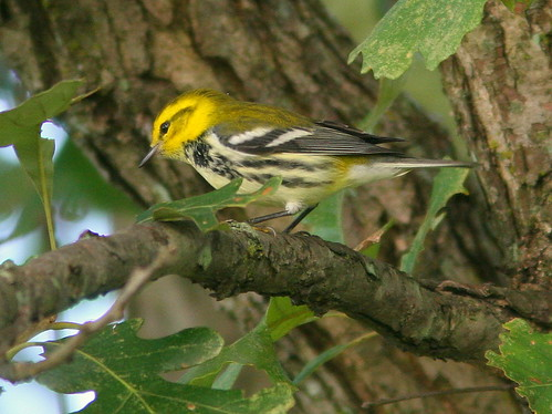 Black-throated Green Warbler 5-20100827