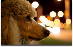 Night on the Town 34/52 (Perry McKenna) Tags: portrait dog ontario canon lights bokeh spoo cooper standardpoodle stittsville almostred apricotpoodle canadascapital sigma50mm14 5dmkii 52weeksfordogs agreatmodel partofottawa