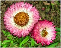 1539-Sempre vivas (jl.cernadas) Tags: naturaleza flores nature flora natureza