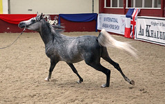 towerlands arab horse show 2010 (pg tips2) Tags: show summer horses horse international arab ponies arabian aug 2010 equus arabs arabians equines towerlands arabhorse arabhorses ukiahs ukinternationalarabhorsesociety2010