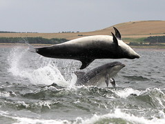 Bottlenose dolphins (Ally.Kemp) Tags: point scotland marine dolphin wildlife hunting salmon scottish dolphins mammals leap leaping breaching moray rosemarkie blackisle firth chanonry bottlenose morayfirth breach fortrose rossshire chanonrypoint