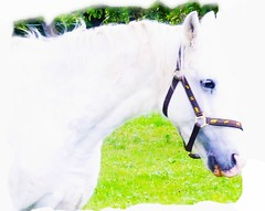 Pferd weiss (eagle1effi) Tags: horse nature caballo cheval lumix cavallo cavalo pferd equus paard evalo waldhausen