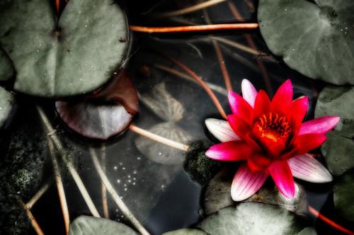 Water Lily. Funchal, Madeira. Nenúfar