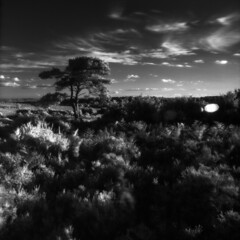 Another Bratley view (Skink74) Tags: uk england sky blackandwhite bw tree 120 6x6 film clouds ir mono heather hampshire bronica infrared ferns rodinal newforest efke r72 scotspine s2a bratleyview thattree zenzabronicas2a ir820 nikkoroc50mm128 nikkoroc50f28 filmdev:recipe=5952 s2am024