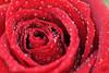 [10/5] (عفاف المعيوف) Tags: flower project وردة ورود زهرة أحمر قطرات زهور ندى