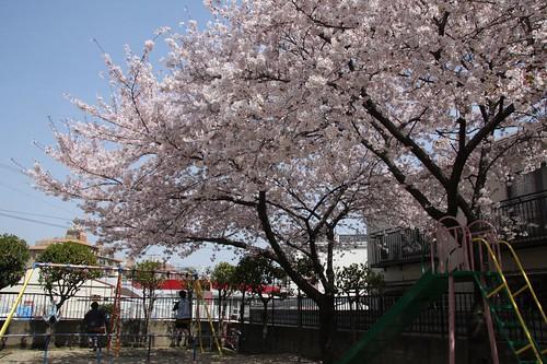 サクラの木と一緒に・・・ / Under the cherry tree