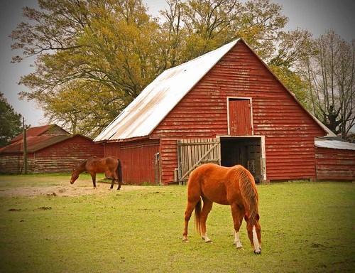 Old Red Barns and Horses:  Tarboro Vicinity, Tarboro, Edgecombe County, NC