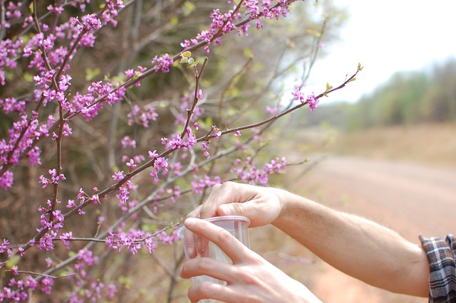 harvesting buds