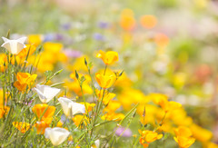 Summer (paulapics2) Tags: californiapoppies poppies orange yellow flower floral blümen fleurs summer sunny bright colourful bokeh depthoffield canoneos5dmarkiii canonef70300mmf456lisusm outdoor plant nature garden hydehallgardens hbw