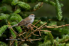 Chipping Sparrow DSC_8253 (Ron Kube Photography) Tags: bird birds chipping sparrow chippingsparrow nature fauna ornithilogy calgary alberta canada calgaryalberta nikon nikond500 d500 ronaldok globalbirdtrekkers spizellapasserina ronkubephotography