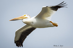 American White Pelican Flyby (Ricky L. Jones Photography) Tags: canon teamcanon bird birds birding birdwatching birdphotography nature naturephotography wildlife wildliferefuge migration wisconsin pelican pelicans