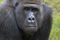 Silberrücken (DeanB Photography) Tags: zoo hannover zoohannover tiere tier tierwelt tierpark gefährlich gorilla gorillaberg erlebniszoohannover elefanten ef100400l canon 7dmkii animal animals affen