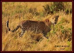 LEOPARD (Panthera pardus) ...MASAI MARA.....SEPT 2016 (M Z Malik) Tags: nikon d3x 200400mm14afs kenya africa safari wildlife masaimara keekoroklodge exoticafricanwildlife exoticafricancats flickrbigcats leopard ngc npc
