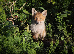 Fox cub, Vulpes vulpes (michael.smith86) Tags: canon 7d2 fox cub marestail sigma contemporary flamborough eastyorkshire 150600 eyes staring vulpesvulpes redfox cute