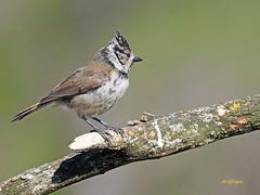 Herrerillo capuchino (Lophophanes cristatus) (2) (eb3alfmiguel) Tags: aves pajáros insectívoros passeriformes paridae herrerillocapuchino