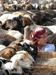 Uyghur girl amongst her sheep