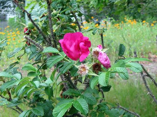 rosa rugosa bloom