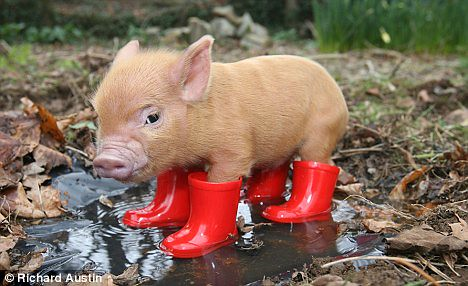 Pig in wellies