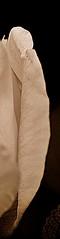 7 - 22 juin 2010 Saint-Maurice Bords de Marne Rose blanche (melina1965) Tags: flowers roses flower fleur june rose sepia fleurs juin nikon ledefrance noiretblanc 2010 spia valdemarne saintmaurice mypersonalfavorites d80 theworldthroughmyeyes checkoutmynewpics umbralaward youarenotinfrontofyourtv flickrsocialclub flickrfotografias