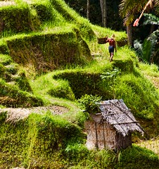 Harvest ~ Tegallantang Rice Terrace, Ubud, Bali (mikaku) Tags: bali work indonesia asian asia rice harvest meditation indo putu mikaku doliveck balifornian