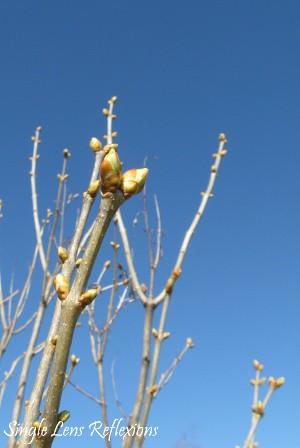 Budding Lilac Branch