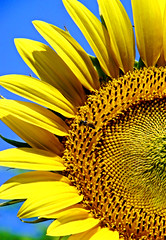 Happy Anniversary!!! (bdaryle) Tags: light two flower macro nature fleur yellow is petals pattern sony year flor brandon sunflower complex awesomeblossoms imagesbybrandon darylebdarylehappy anniversaryhere